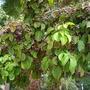 Bischofia javanica - Toog Tree (Bischofia javanica - Toog Tree)