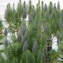 Echium fastuosum - Pride of Madeira (Echium fastuosum - Pride of Madeira)
