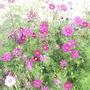 Cosmos_in_Dian_s_garden_20-09-08_005.jpg