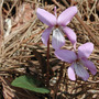 Japanese violet - 2 ( planted in a sunny place around my house) (Viola japonica)
