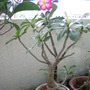 Desert Rose starts blooming for the third time this year. (Adenium obesum (Desert Rose))