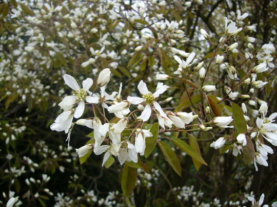 A. lamarckii  (Amelanchier lamarckii (Snowy mespilus))
