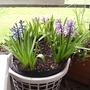 Hyacinths_on_balcony_2009-03-16_001.jpg
