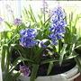 Hyacinths_on_balcony_2009-03-29_013.jpg