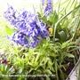 Hyacinths__blue__on_balcony_2009-04-07_002.jpg (Hyacinth Orientalis)