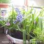 Hyacinths__blue__yellow___pink_on_balcony_2009-04-07_001.jpg (Hyacinth Orientalis)
