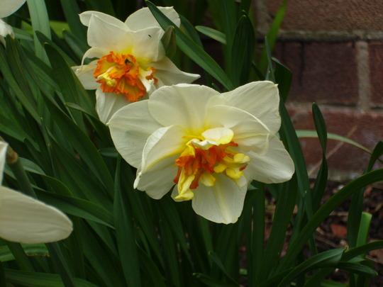 Narcissus 'Mary Copeland' (Narcissus Mary Copeland)