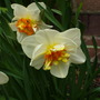 Narcissus 'Mary Copeland' (Narcissus Mary Copeland)