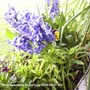 Hyacinths_blue_on_balcony_2009_04_07_002