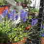 Muscari neglectum (Common Grape Hyacinth)