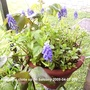 Grape_hyacinths_on_balcony_2009_04_07_001
