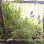 Grape_Hyacinths_on_balcony_2009-04-07_002.jpg (Muscari neglectum)