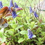 Grape_hyacinths_on_balcony__2009-03-29_001.jpg (Muscari neglectum)