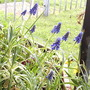 Grape_hyacinths_on_balcony__2009-03-29_003.jpg (Muscari neglectum)