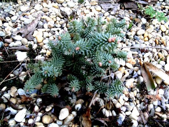 Dwarf Douglas fir (Pseudotsuga menziesii (Blue Douglas Fir))