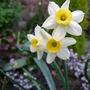 Narcissus ~ Minnow (Narcissus ~ Minnow)