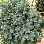 Picea pungens (Picea pungens (Colorado Blue Spruce))