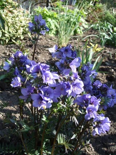 Polemonium 'Bressingham Purple' (Polemonium 'Bressingham Purple')