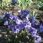 Polemonium_bressingham_purple_