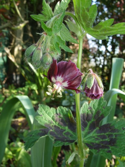 Geranium phaeum 'Samobor' (Geranium phaeum 'Samobor')