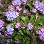 Purple_myosotis