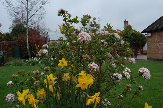 Viburnum and Daffodils