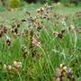 Spring Sedge  (Carex caryophyllea)