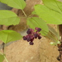 Chocolate Vine (Akebia quinata (Chocolate vine))