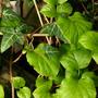 Hydrangea Petiolaris (Hydrangea petiolaris (Climbing Hydrangea))