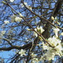 Here comes the blossom for 2009, will the crop be plentyful to make jam this year?