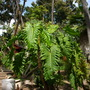 """A semi-large Philodendron 'Evansii"""" (A large Philodendron 'Evansii"""")"""