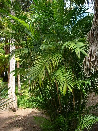 Chamaedorea costaricana - Costa Rican Bamboo Palm (Chamaedorea costaricana - Costa Rican Bamboo Palm)