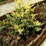 Juniper sqamata (Juniperus squamata)