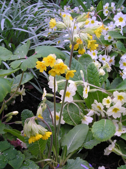 A garden flower photo (Primula veris (Cowslip))