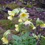 Primula elatior (Oxlip) (Primula elatior (Oxlip))