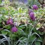 Fritillaria_meleagris2