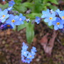 A garden flower photo (Myosotis scorpioides (Water forget-me-not))