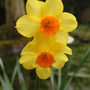 narcissus no name (Narcissus pseudonarcissus)
