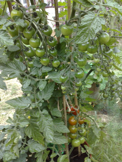 First Year growing Tomatoes :Tomarvellous
