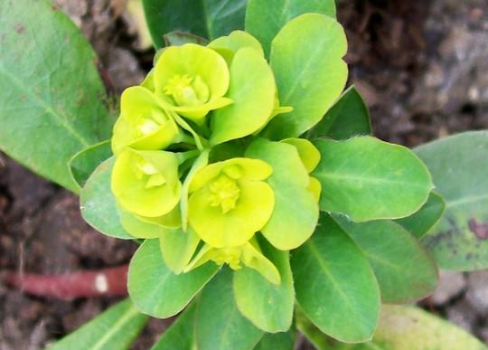 Jacque's Spurge (Euphorbia palmeri)