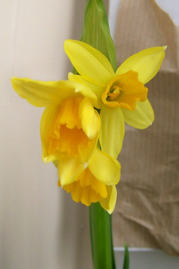 my mothers day pressy (Narcissus)