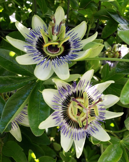 Passion Flower (Passiflora incarnata (Maypops))