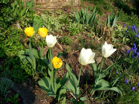 Yellow and white tulips (Tulipa Purrissima)