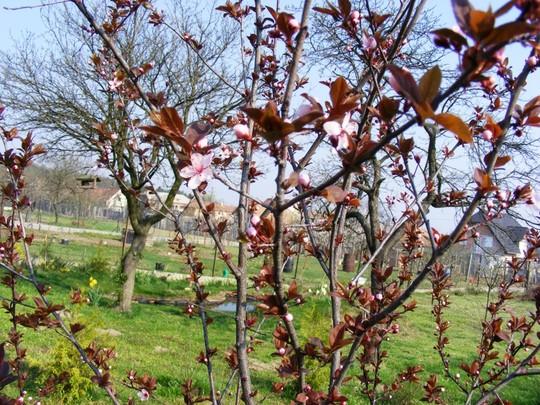 Blossom on ornamental plum (Prunus spinosa Purpurea)