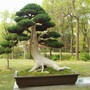 Bonsai_in_hotel_garden