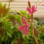 Geranium cuttings from last summer (Pelargonium)
