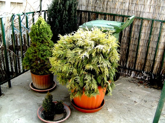 Thuja Golden globe (Thuja occidentalis (White cedar))