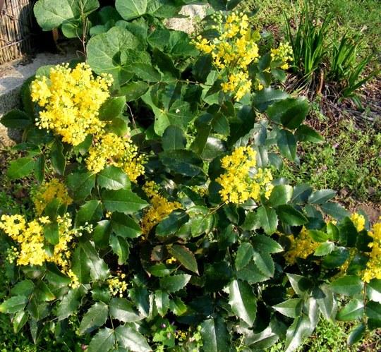 Mahonia (Mahonia aquifolium (Oregon grape))