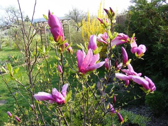 Magnolia blossom (Magnolia liliiflora (Magnolia))