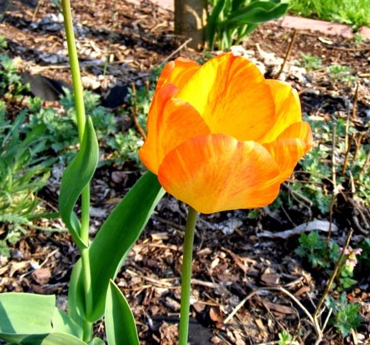 Dutch tulip (Tulipa Calgary)